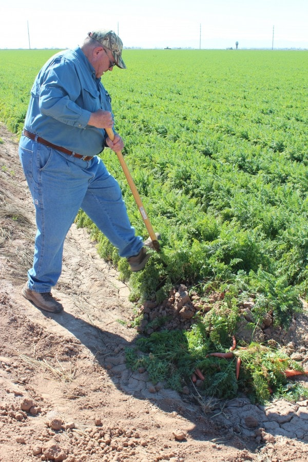 Farmer Picking Carrots